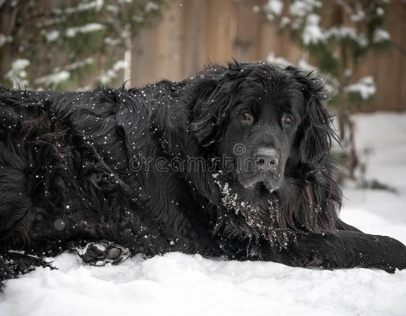 Black giant breed newfoundland dog laying in snow. Giant breed black newfoundland dog laying in cold winter snow with fluffy black fur and snowflakes royalty free stock photos