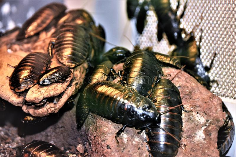 Black giant Madagascar hissing cockroach in aquarium royalty free stock photo