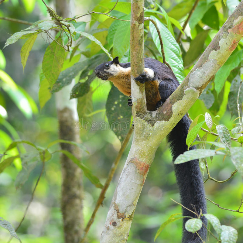 Black giant squirrel royalty free stock photo