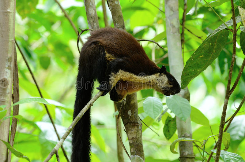 Black Giant Squirrel (Ratufa bicolor) royalty free stock photos