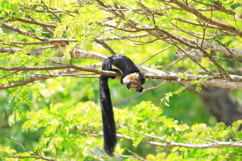 Black giant squirrel stock photography