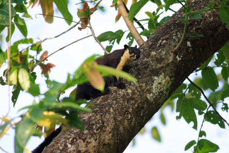 Black giant squirrel stock photo