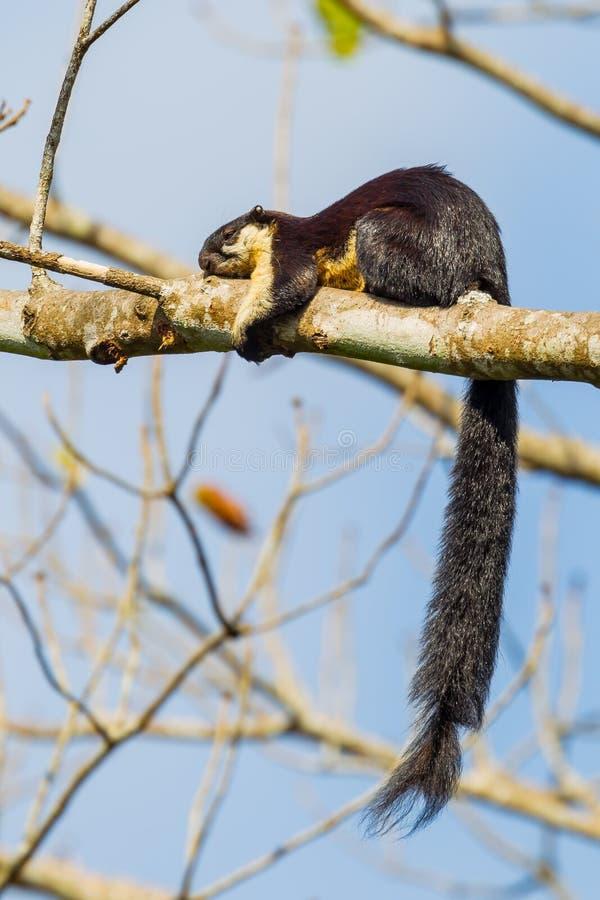 Black giant squirrel(Ratufa bicolor) royalty free stock photos