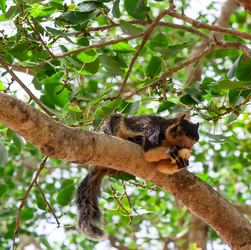 Black Giant Squirrel. royalty free stock image