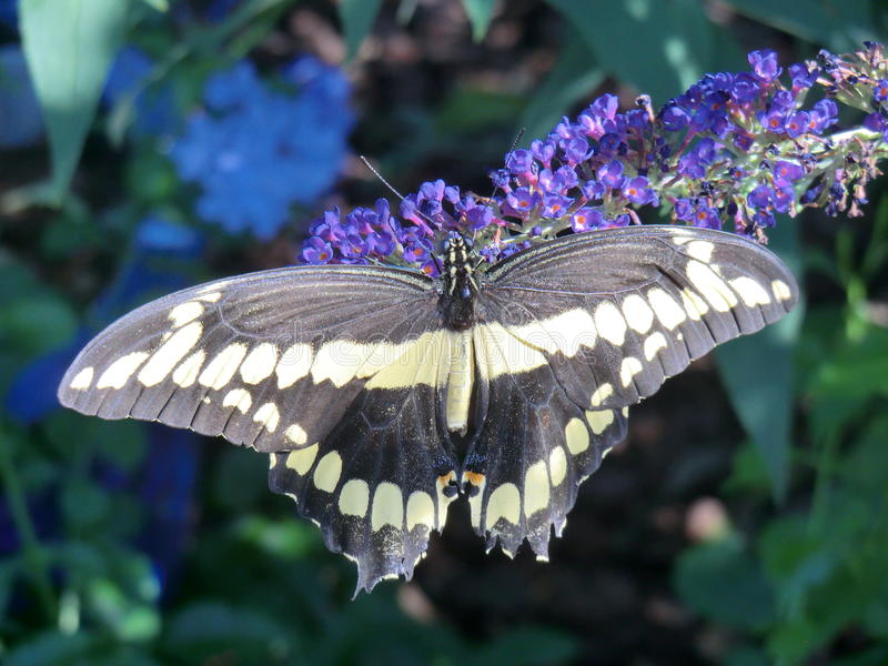 Black Giant Swallowtail butterfly on purple Buddleia Black Night flower royalty free stock photo