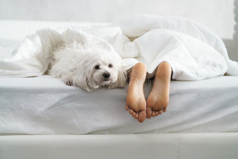 Black Girl Sleeping In Bed With Dog And Showing Feet. Black girl in bed in the morning with white dog. Tired young African American woman sleeping at home with stock photo