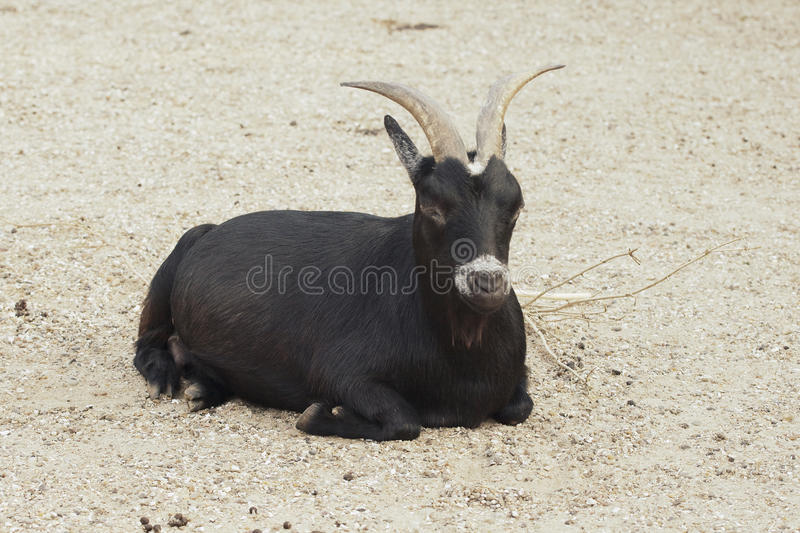 Download Black goat stock image. Image of pasture, male, mammal - 21487659