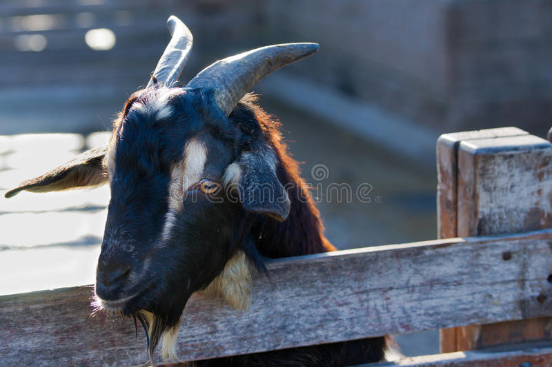 Download Black goat stock image. Image of grazing, barnyard, aries - 25397345