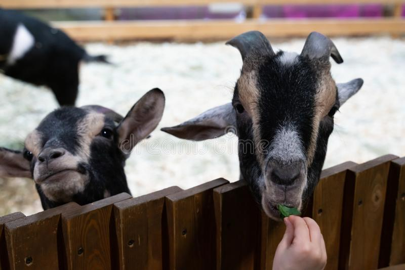 Goat eating food from a child`s hand. Black goat eating food from a child`s hand. animals on the farm close-up. Recreation and fun on a farm stock photos