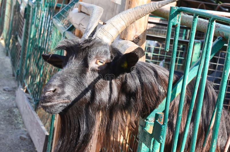 A black goat or goat peeps between the fence rods. royalty free stock image