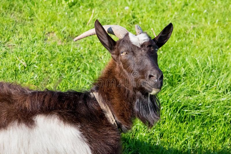Black goat with horns on the pasture on the background of green grass_. Black goat with horns on the pasture on the background of green grass stock photo