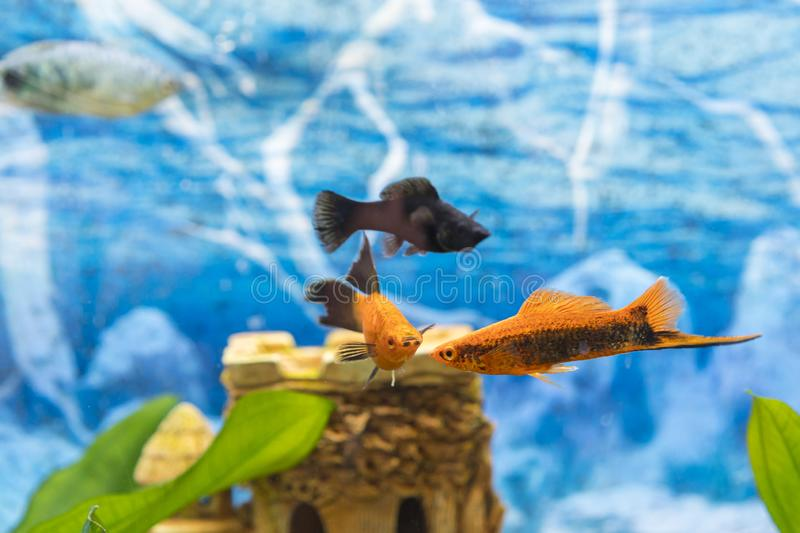 Black and gold fish in an aquarium. Colorful fish in the aquarium. Beautiful fish in the aquarium,Goldfish, aquarium, a fish on royalty free stock photography