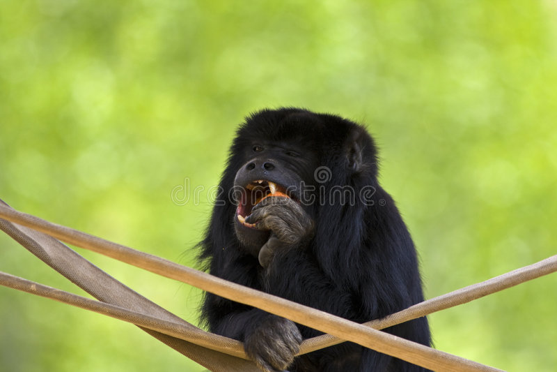 Black-Gold Howler Monkey stock photo