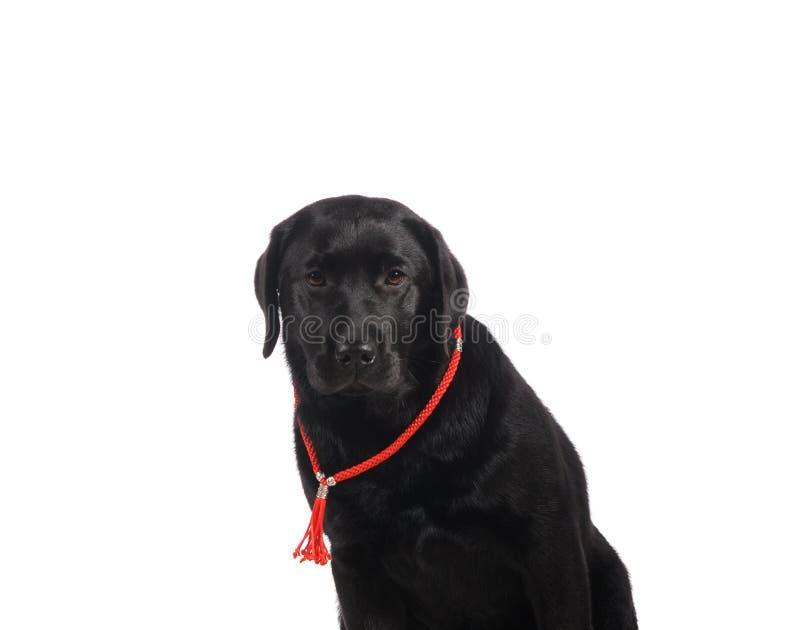 Black golden labrador retriever dog isolated on white background. Studio shot royalty free stock photo