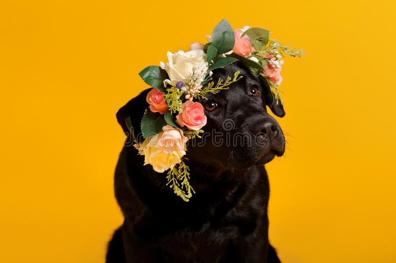 Black golden labrador retriever dog isolated on yellow background. Studio shot. Portrait of a cute pet, animal, puppy, purebred, pedigree, brown, young, wreath royalty free stock image