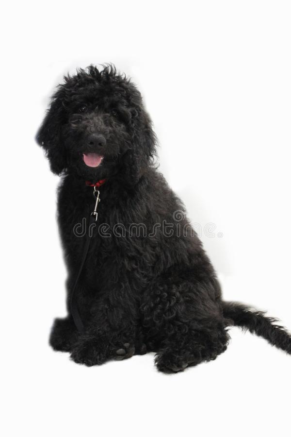 Black Goldendoodle on a white background royalty free stock images