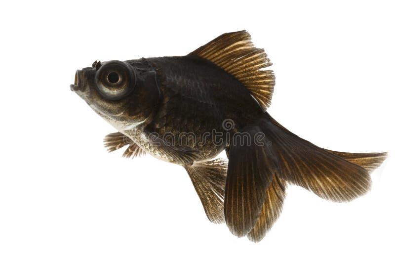 Download Black Goldfish stock photo. Image of isolated, white - 29087372