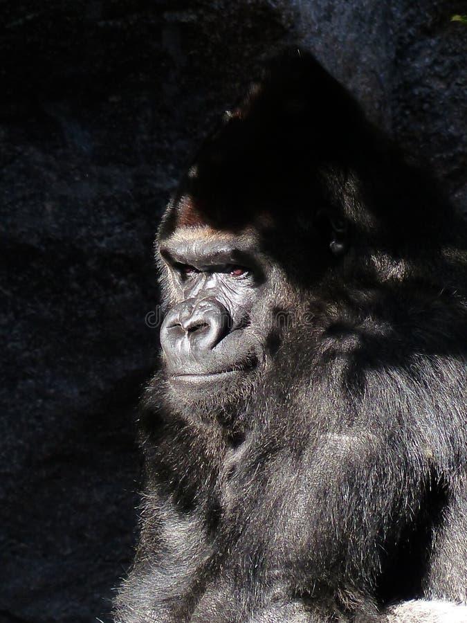 Black Gorilla Closed Up Photography Free Public Domain Cc0 Image