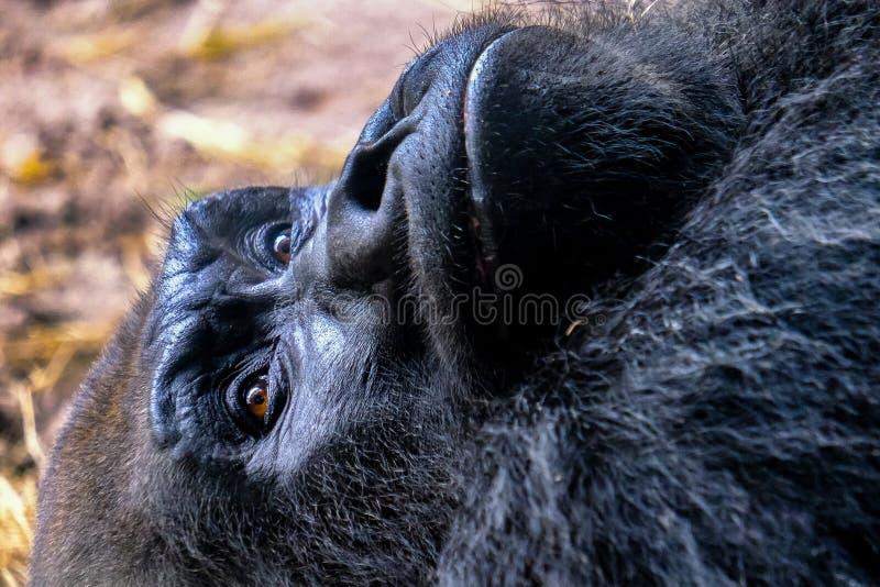 Black gorilla closeup face portrait. Laying down royalty free stock photos