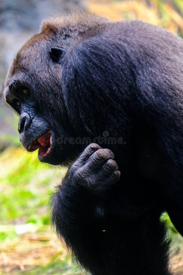 Black gorilla closeup portrait. Tickling laughing turn back royalty free stock photos