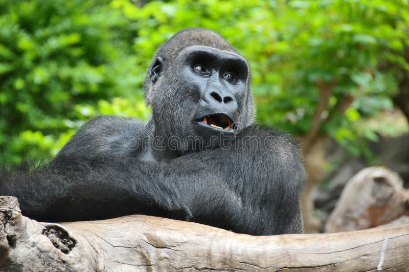 Black Gorilla Resting on a Wooden Pole stock photo
