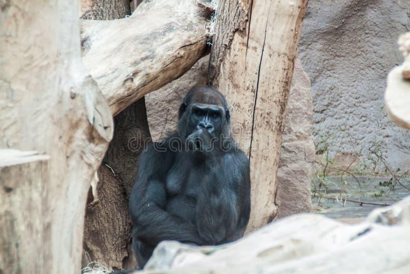 Black Gorilla thinking stock photo