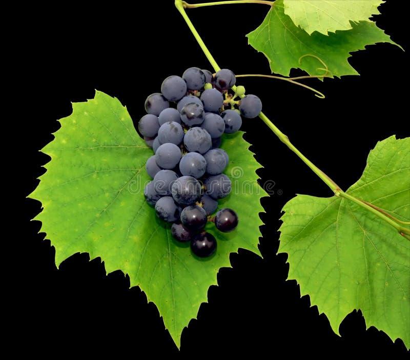 Black grape 1 stock images