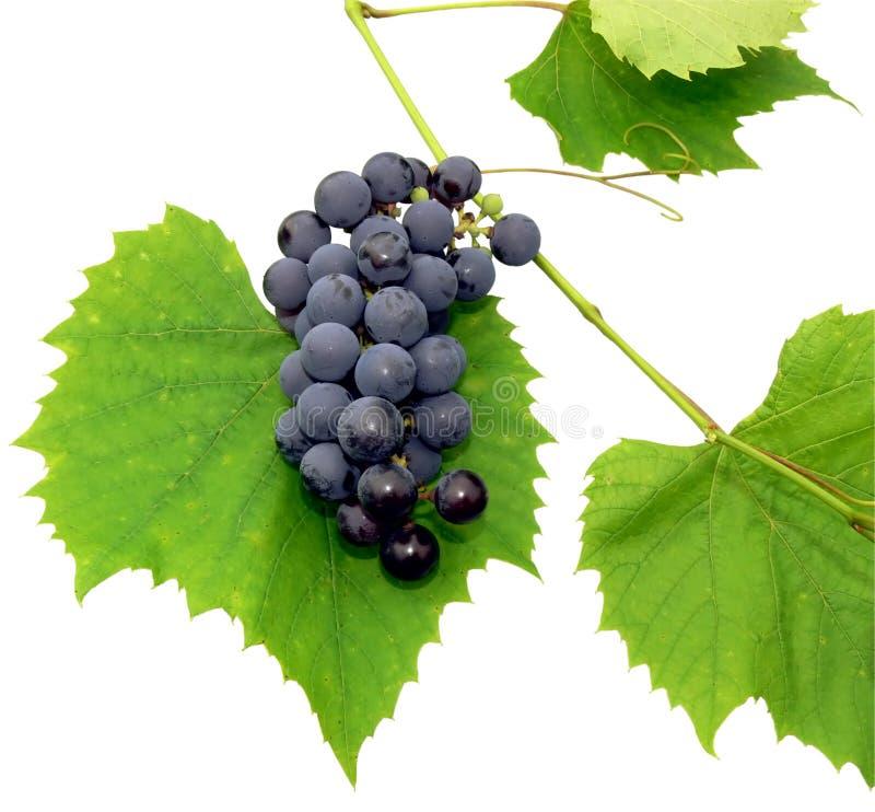Black grape 2 royalty free stock photo