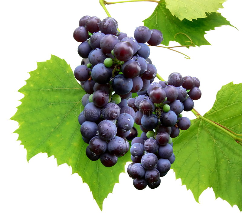Black grape 3 royalty free stock images