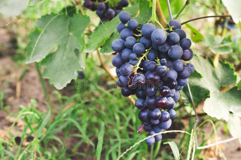 Black grape. Big bunch of fresh wine grapes. Concept of winemaking and harvesting season. Black grape. Big bunch of fresh wine grapes. Concept of winemaking and royalty free stock photos
