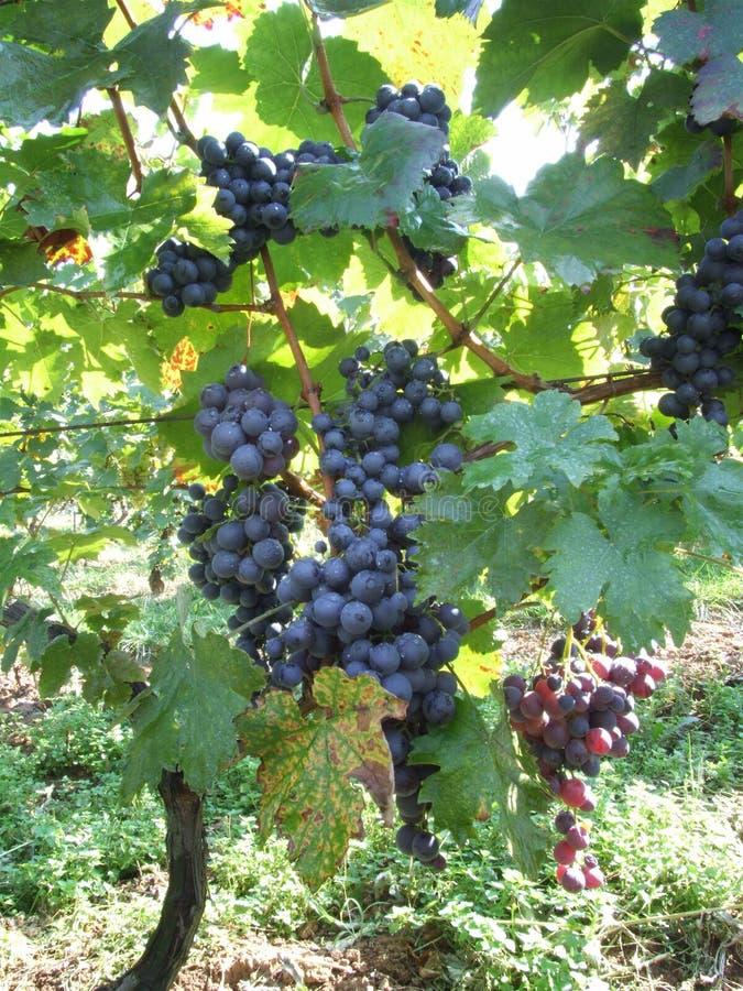 Black grapes royalty free stock image