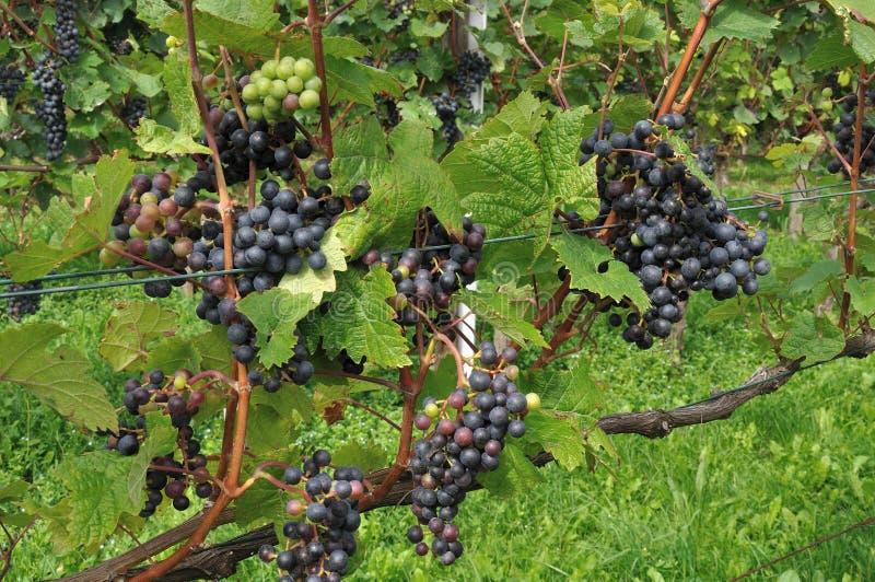 Black grapes, baden. Black grapes and vine leaves in vineyard, baden stock images