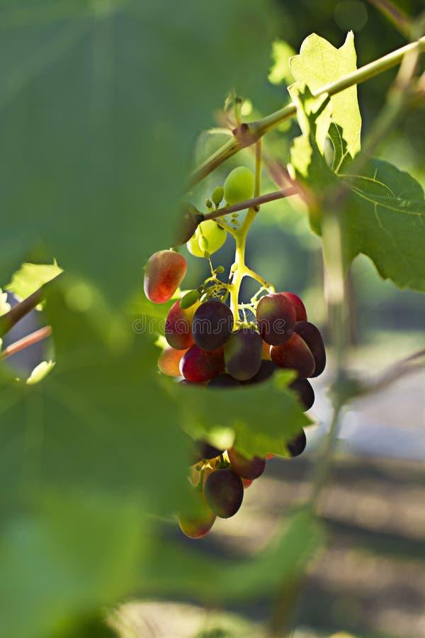 Black grapes on the vine. Sunlit. Autumn. Vintage green color photo. Black grapes on the vine. Sunlit. Autumn. Vintage. Green color photo stock photography