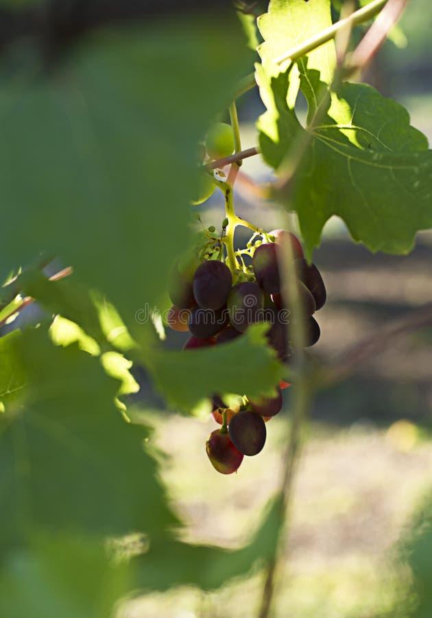 Black grapes on the vine. Sunlit. Vintage green color photo. Autumn. Black grapes on the vine. Vintage green color photo. Autumn.Sunlit royalty free stock images
