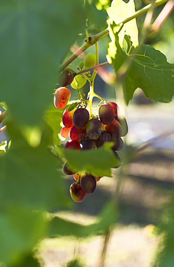 Black grapes on the vine. Sunlit. Vintage green color photo. Autumn. Black grapes on the vine.Vintage green color photo. Autumn.  Sunlit stock photo