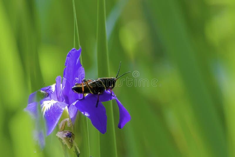 Black grasshopper on flower. Black grasshopper on Vibrant purple blue and yellow lily flower royalty free stock photo