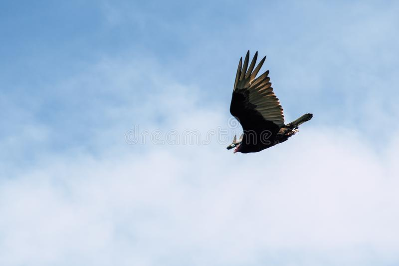 Black and Gray Bird Flying Under White Clouds and Blue Sky stock image