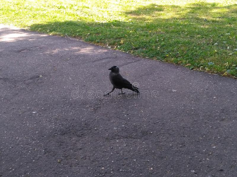 Black and gray bird important pacing on the road royalty free stock photos