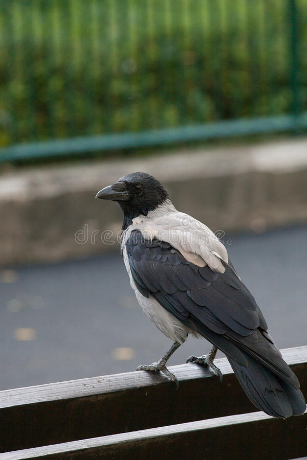 Black and gray Crow on the bench in the city royalty free stock images