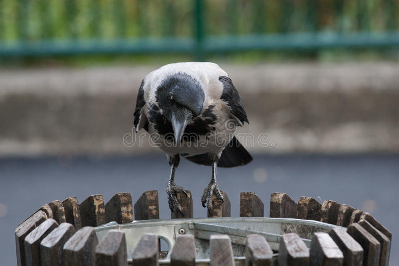 Black and gray Crow on the trash can in the city royalty free stock image