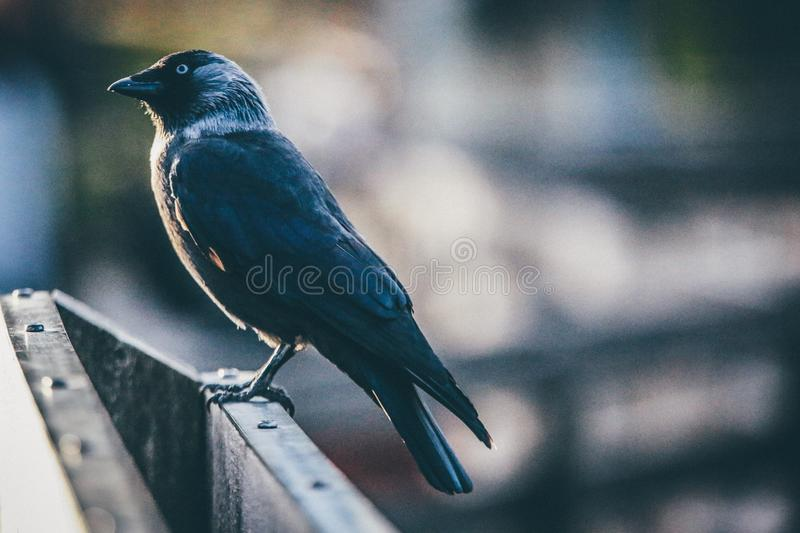 Black and Gray Feathered Bird Standing on Top Gray Wooden Surface royalty free stock images