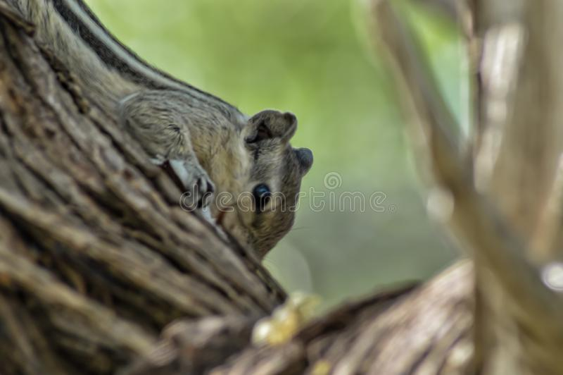 Black and Gray Indian Squirrel Climbing on tree in forest. Indian Squirrel in the wild at  tree branch, Black and Gray Indian Squirrel Climbing on tree in forest royalty free stock image