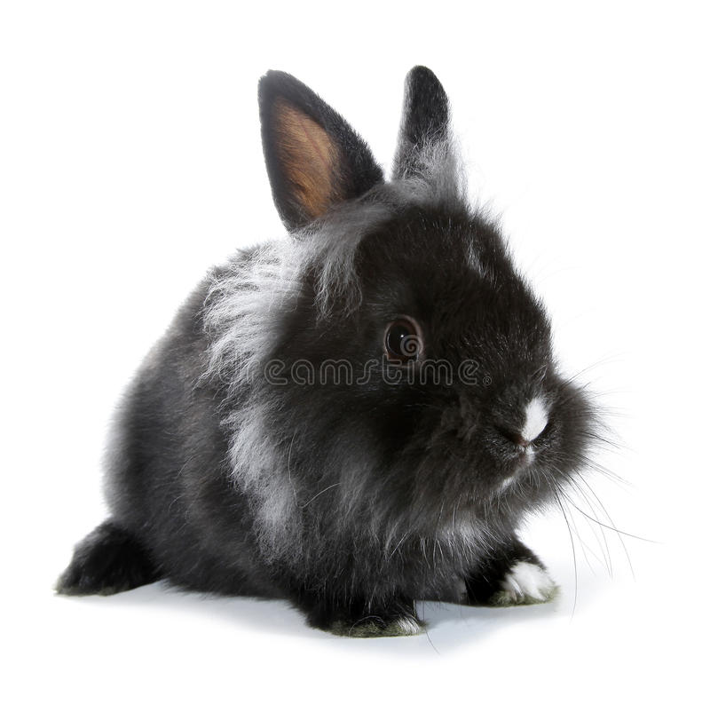 Black gray rabbit bunny isolated on white background royalty free stock photography