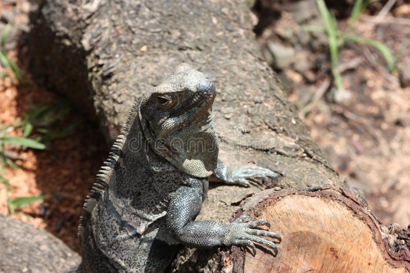 Close up of black and gray striped lizard perched on a fallen log stock images