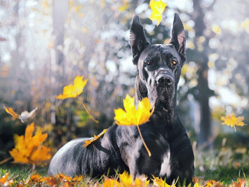 Black Great Dane in autunno fotografia stock libera da diritti