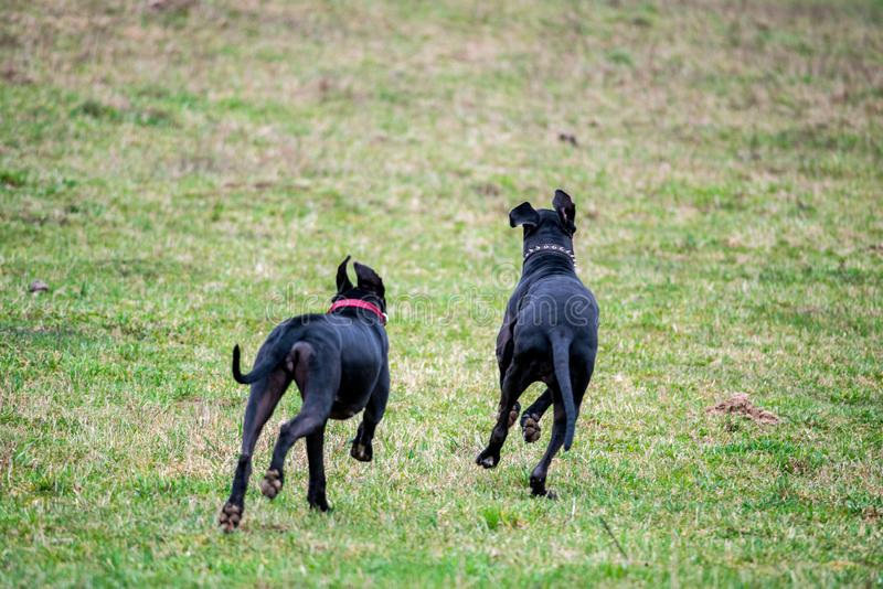 Great Dane dogs royalty free stock photo