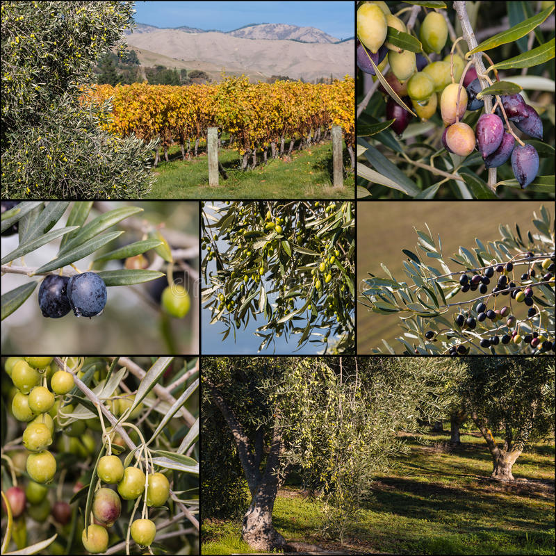 Black and green olives on olive tree stock photography