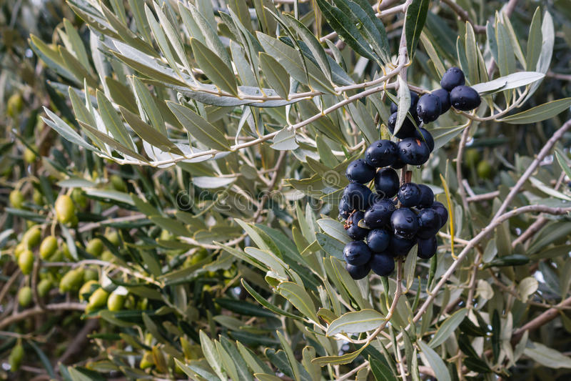 Black and green olives ripening on olive tree. Closeup black and green olives ripening on olive tree stock photos