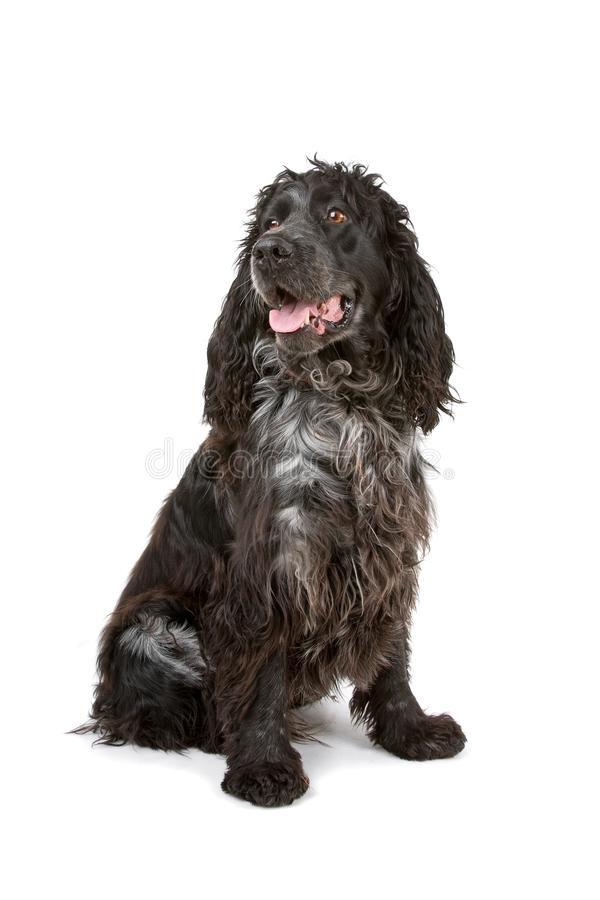 Black And Grey Cocker Spaniel Dog Royalty Free Stock Image