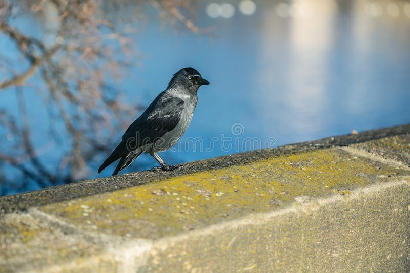 A black and grey colored bird, common jackdaw, standing on stone balustrade. A black and grey colored bird, common jackdaw, standing on brown stone balustrade in royalty free stock photo